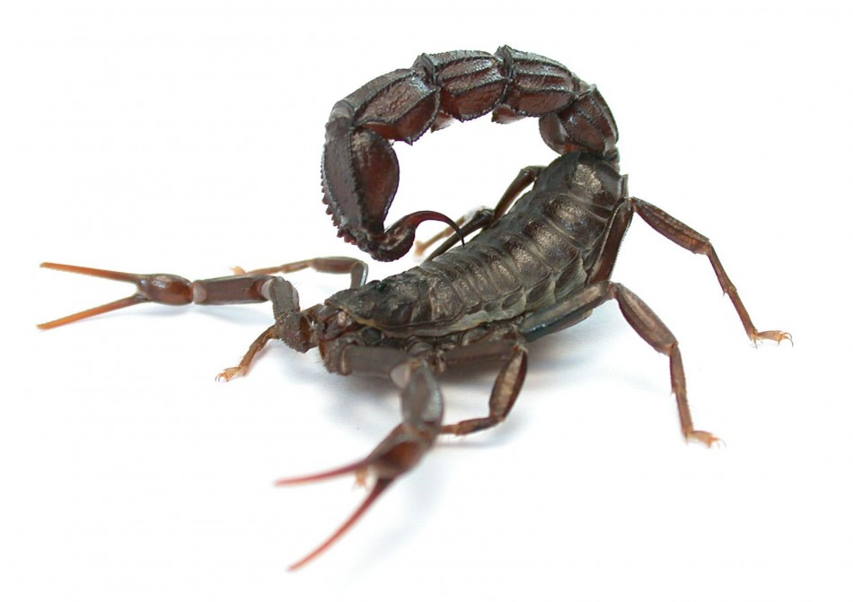 http://www.isciencetimes.com/articles/6313/20131113/scorpions-stingers-pincers-attack-defense-predators.htm